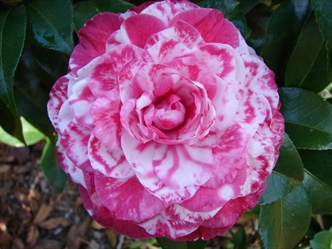 Minnie Ruth Variegated